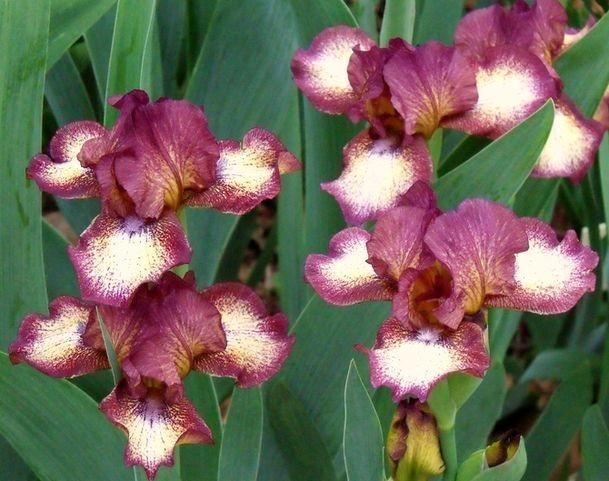 Photo of Intermediate Bearded Iris (Iris 'Hot Fudge') uploaded by Ladylovingdove