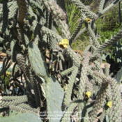Location: Austin ,TXDate: FebruaryCholla cactus, also known as Teddy Bear cactus