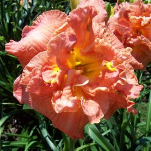 Photo courtesy of Blue Ridge Daylilies