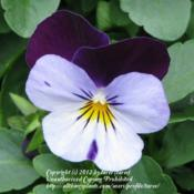 Location: In our garden - Central Valley area, CADate: 18-Feb-2011Close-up of Viola