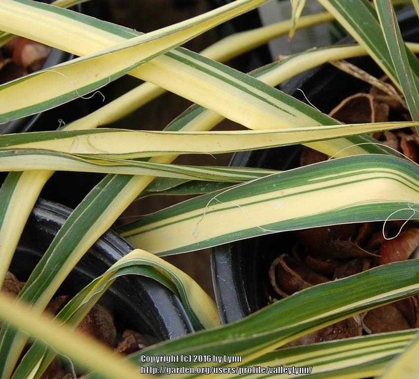 Photo of Yucca uploaded by valleylynn