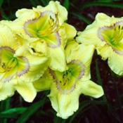 Photo courtesy of Paul Aucoin of Shantih Daylily Garden