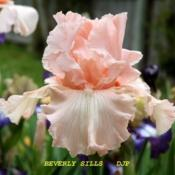 "Location: Fort Worth TXDate: 2008-04-18Iris (Iris ""Beverly Sills\"")"