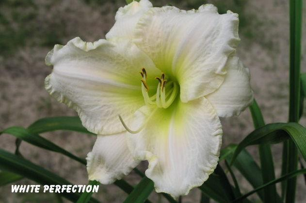 Photo of Daylily (Hemerocallis 'White Perfection') uploaded by mcash70