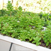 Location: At our garden - Central Valley area, CADate: 2011-10-18Jelly Bean succulents