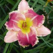 Date: 2002-01-01Photo Courtesy of Westbourne Daylilies Used with Permission