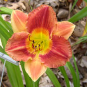 Photo courtesy of Daylilies of Kenefick