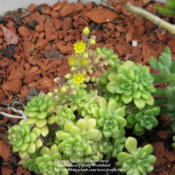 Location: At our garden - Central Valley area, CADate: 2010-04-27Sedum - NOID with yellow blooms