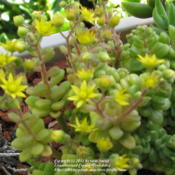Location: At our garden - Central Valley area, CADate: 2010-06-01Sedum - NOID in bloom