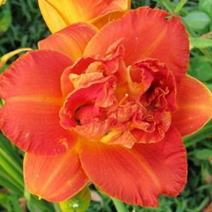 Photo Courtesy of Lobo Rose and Daylily Gardens Used With Permiss