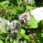 Location: central IllinoisDate: 2010-09-08Cabbage Whites in mint