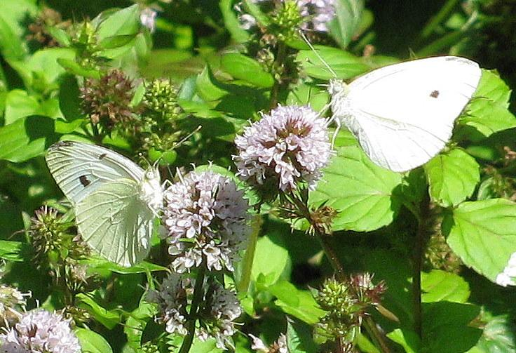 Photo of Mints (Mentha) uploaded by jmorth
