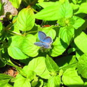 Location: central IllinoisDate: 2011-08-14Hairstreak in mint