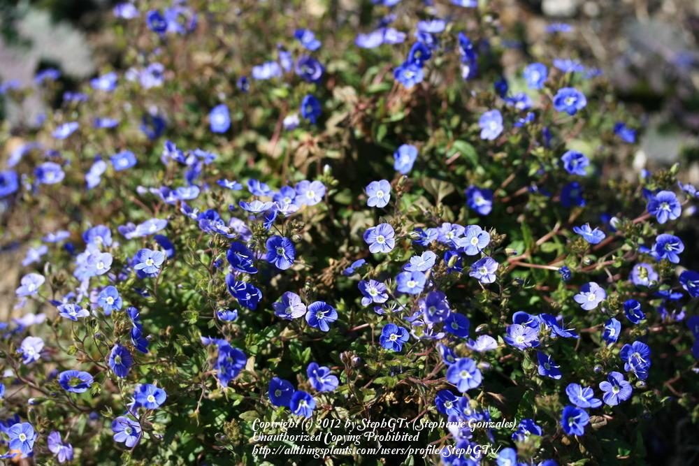 Photo of Speedwell (Veronica peduncularis 'Georgia Blue') uploaded by StephGTx