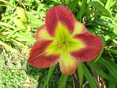 Photo of Daylily (Hemerocallis 'Apple Pie Order') uploaded by vic