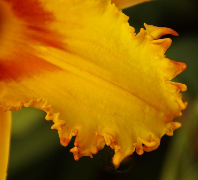 Photo of Daylily (Hemerocallis 'After the Bite') uploaded by Calif_Sue