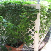 Location: Austin ,TXDate: AugustFast growing vine to cover arbor or AC corral