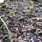 Location: Rosetta- TasDate: 26 Feb 2012seedling liliums