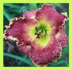 Photo of Daylily (Hemerocallis 'Heavenly Garden Jubilee') uploaded by Calif_Sue