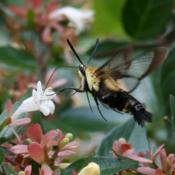 Location: Rock Hill, SC.Photo by Lonnie Huffman, with Snowberry Clearwing (Hema