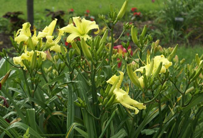 Photo of Daylily (Hemerocallis 'Shining Angel') uploaded by Calif_Sue