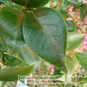 Location: zone 8/9 Lake City, Fl.Date: 2012-02-28camellia leaves