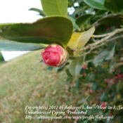 Location: zone 8/9 Lake City, Fl.Date: 2012-02-28camellia bud