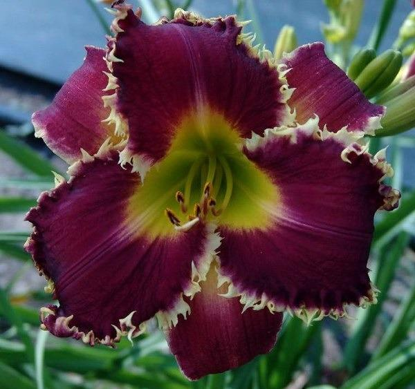 Photo of Daylily (Hemerocallis 'Venus Flytrap') uploaded by Calif_Sue