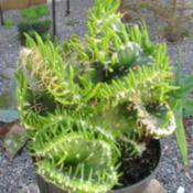 Location: Southwest FloridaDate: March 2012a striking, fully crested form of this plant.