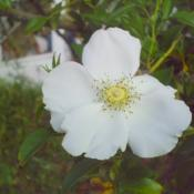 Location: North Shore area of Jacksonville, FloridaDate: 2006-12-18Rosa laevigata (Cherokee Rose) is not native to the U.S., but is