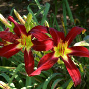 Location: Shagbark Daylilies, central Ohio, zone 5/6Date: 2010 © Shagbark Daylilies