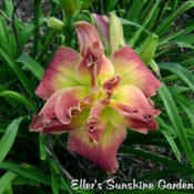 Date: 2010-10-31Photo courtesy of Don Eller Daylilies