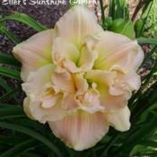 Date: 2009-10-24Photo courtesy of Don Eller Daylilies