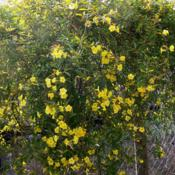 Location: Medina Co., TexasDate: February, 2012Carolina Jessamine, in full bloom
