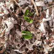 Location: Middle TennesseeDate: 2012-03-04leaves emerging in late winter