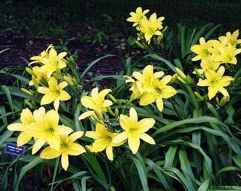 Photo of Daylily (Hemerocallis 'Hyperion Supreme') uploaded by mbouman