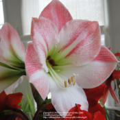 Location: critter's houseDate: 2010-01-18in natural light, 'Apple Blossom' really is the same white and so