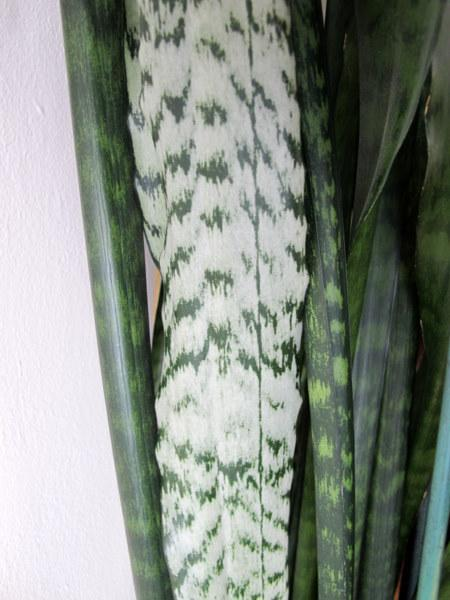 Photo of Snake Plants (Sansevieria) uploaded by goldfinch4