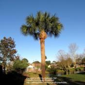 Location: Daytona Beach, FloridaDate: 2012-03-05 Sabal Palm in my yard