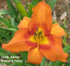 Photo of Daylily (Hemerocallis 'Look Away') uploaded by vic