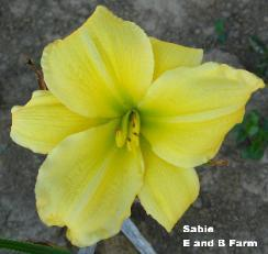 Photo of Daylily (Hemerocallis 'Sabie') uploaded by vic
