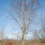 Location: My Northeastern Indiana Gardens - Zone 5bDate: 2012-03-07Tree with buds - late winter, early spring