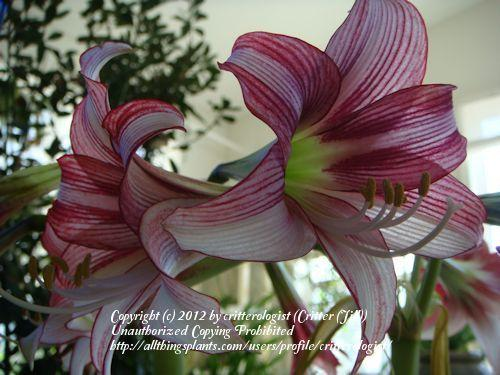 Photo of amaryllis (Hippeastrum cybister 'Striped Panther') uploaded by critterologist