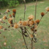 Location: Indiana  Zone 5Date: 2010-09-24dried seed still on plant