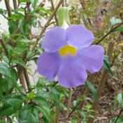 Location: Southwest FloridaDate: March 2012This attractive and easy to grow shrub comes in a range of pale t