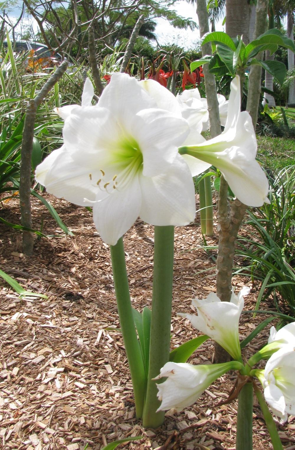 Photo of the bloom of amaryllis hippeastrum 39 wedding for Amaryllis hippeastrum