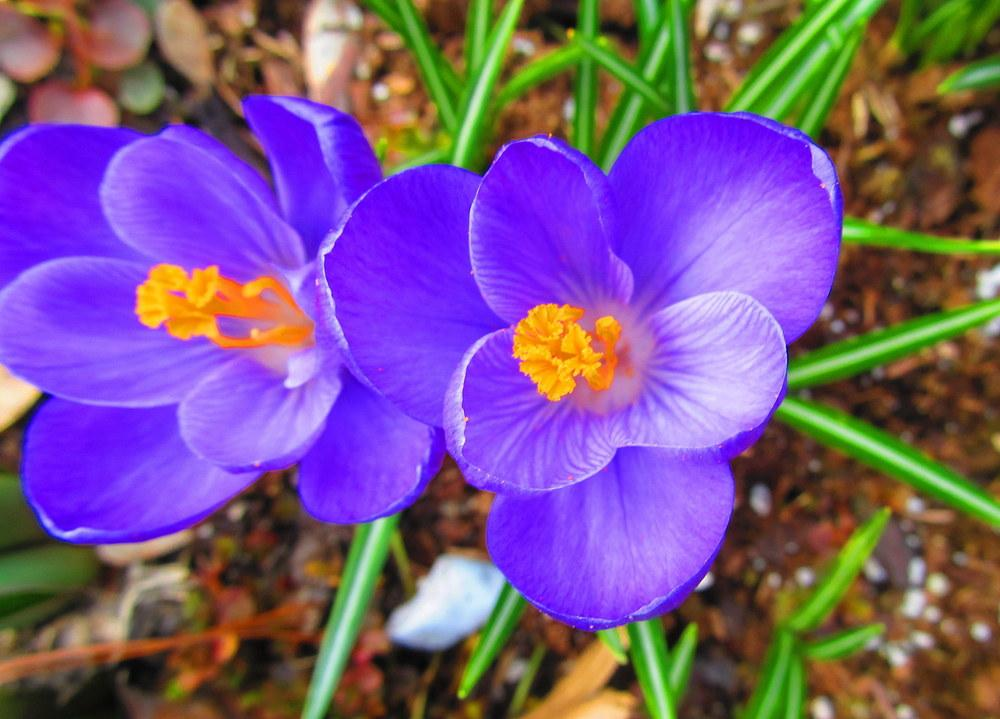 Photo of Giant Dutch Crocus (Crocus vernus 'Flower Record') uploaded by jmorth