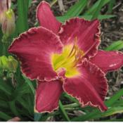 Photo Courtesy of 5 Acre Farm Daylilies Used With Permi