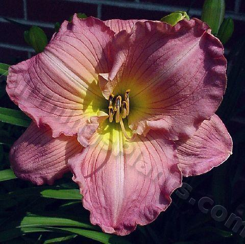 Photo of Daylily (Hemerocallis 'Doing Her Thing') uploaded by DaylilySquire