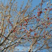 Location: Northeastern IndianaDate: 2012-03-13Monoecious plant - female blooms on lower branches to catch more